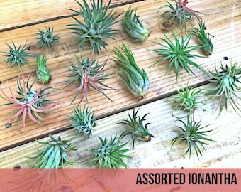 20 assorted Tillandsia IONANTHA air plants - FREE SHIP treasury wholesale bulk lot collection