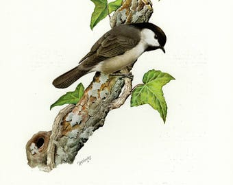 Vintage lithograph of the black-capped chickadee from 1956