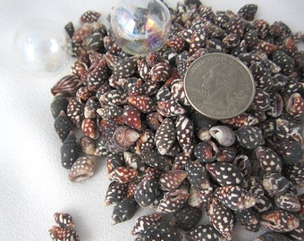 "Beach Nautical Spotted Nassa Columbella Shells - Tiny Brown Nassa Seashells for Jewelry, Weddings - 3x4"" Bag"