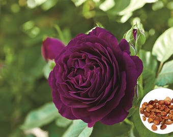 20 Purple Rare Rose Fresh Seeds, Exotic Purple Rose Flower Home Garden Plant, Growing Rose from Seeds