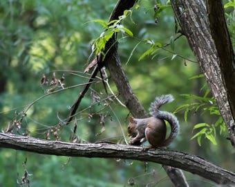 Gray Squirrel with Nut - Georgia - Animal - Digital Download