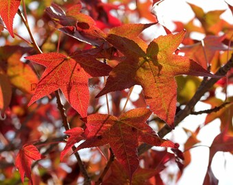 California Fall, Fine Art Nature Photograph by DENISE SLOAN
