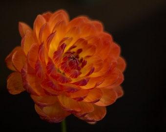 Orange Dahlia Photo