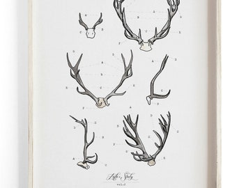 Antler Study Vol.2- Scientific illustration. Beautifully textured cotton canvas art print.  Large scale art