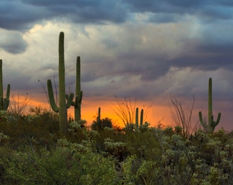 Saguaro Cacti with Cloud Filled Sky at Sunset in the Sonoran Desert Photograph - Tucson, Arizona