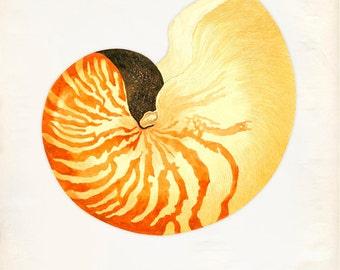 Vintage Sea Shell Nautilus Pompilius Print 8x10 P209