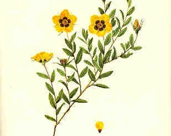 Redoute Botanical Rose Print  25