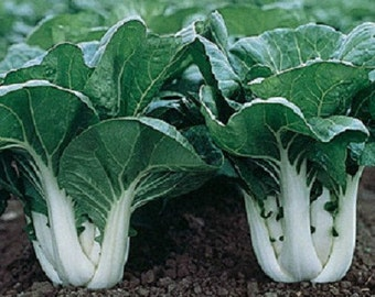 2,000 Pak Choi White Stem Cabbage Seeds