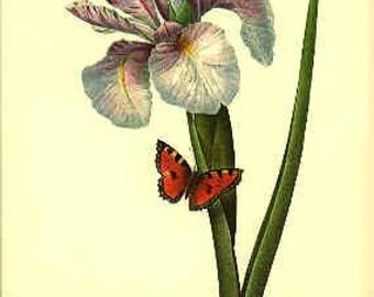 Redoute Botanical Iris Print - Iris - 60 - Iris Print - Botanical Print - Purple Iris Print - Iris - Purple Iris