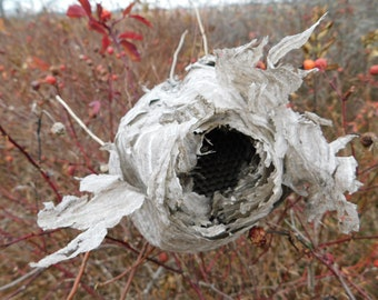 Wasps Nest ~ Natural Curio