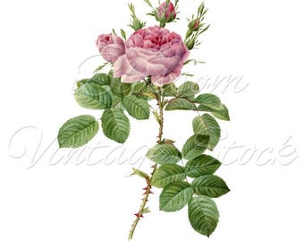 Rose Prints Wall Art, VIntage Rose, Shabby CHic Wall Decor Flowers Pink Rose Art, Home Decor, Botanical Print INSTANT DOWNLOAD - 2459