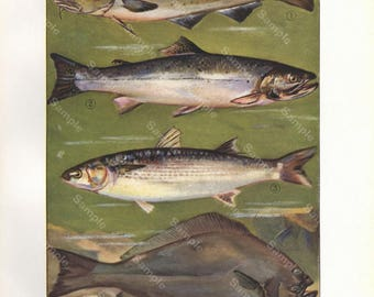 Original Antique Natural History Fish Print.decorative art, Authentic Print, food