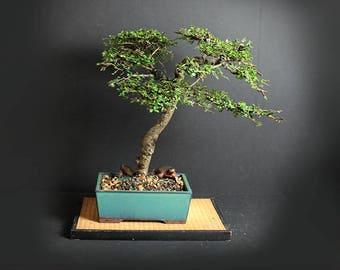 "Caitlin Elm Bonsai Tree ""Fall'17 Elm Collection"" from LiveBonsaiTree"""