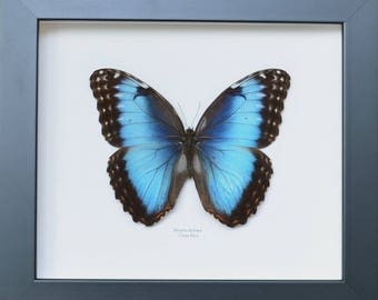 "Beautiful blue butterfly iridescent shades multiple ""Morpho helenor"" female Costa Rica"
