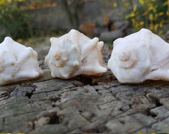 3 natural sea shells from Aegean sea
