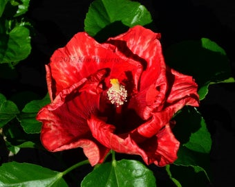 Hibiscus 1221  Red