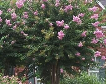 Muskogee Lavender Crape Myrtle - Live Plant - Quart Pot