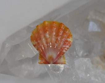 Rare Orange Activated Hawaiian Sunrise Shell