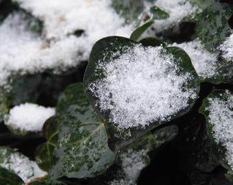Snow on Ivy Photo Card A6