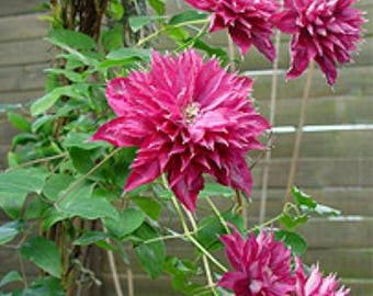 2 year plant ~ Clematis Fireflame