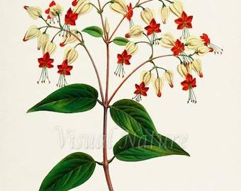 Bleeding Glory-Bower Flower Art Print, Botanical Art Print, Flower Wall Art, Flower Print, Floral Print, Red White Flower Art Bleeding Heart