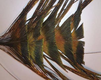 Set of five real peacock feathers