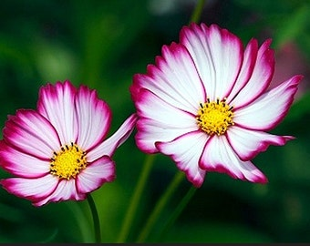 Heirloom Cosmos Candy Stripe Flower Seed Garden Organic Wildflower Picotee Container Friendly