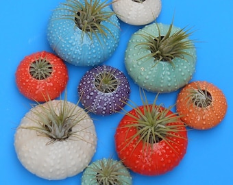 Small Urchin, Vertical Wall Planters, Air Planters, Succulents