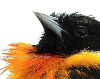 Macro Baltimore Oriole Bird Nature Wall Art Home Decor Digital Download Fine Art Photography