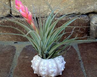Sea Urchin Air Plant Planter, seashell, sea shell, shell, wedding, favor, tillandsia, container, holder, sale, wholesale, bulk