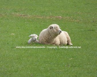 Digital Sheep photo - Digital Download, Smiling Sheep, New Zealand Sheep Photo, New Zealand photo, lamb photo, Nursery lamb photo