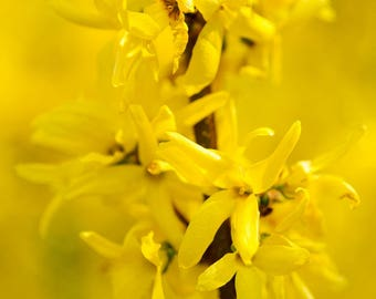 TreesAgain Lot of 5 Forsythia cuttings - Forsythia x intermedia - 7 to 9 inches