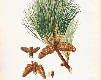 Vintage Pine Cones, Acorns Print 8x10 P236