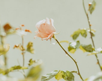 Pink Rose Photography Print, Flower Print and Canvas Wrap, Floral Art Print & Home Decor