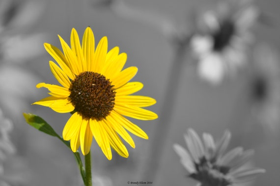 Flower photos home decor wall decor wall art black and white with color accent yellow sunflower black and white single flower