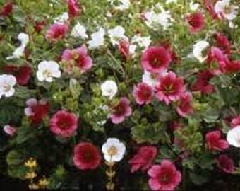 Malope- Trifida Mix- Mallow- 50 seeds