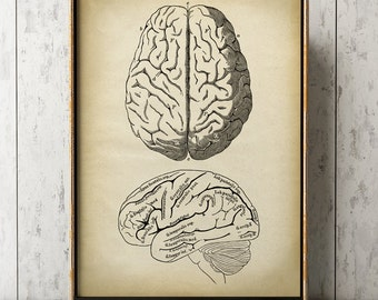 Anatomy print, anatomical drawing, brain print, aged anatomy poster, scientific illustration, medical wall art, doctor gift, brain drawing