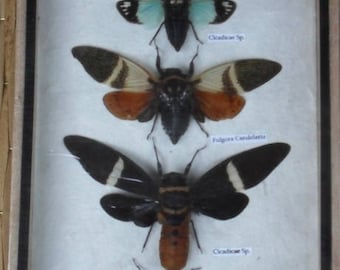 5 Real Clcada Insect Taxdermy Collection In Wooden Box /info 7F