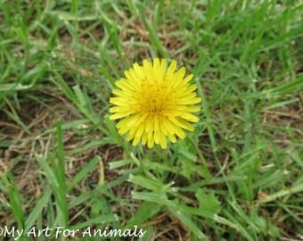 Dandelion, photo, rain, grass, wet the bed, flower, weed, yellow, dirt,