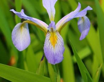 Wild Iris Beauty