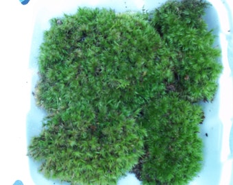 Live Frog Moss Mood Moss - Dicranum For Terrarium or Vivarium - Gallon Bag