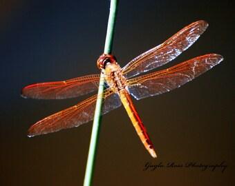 Dragonfly Photography, Nature Photography, Insect Photography, Wildlife Photos, Pond Life Photos,Fine Art, Orange,