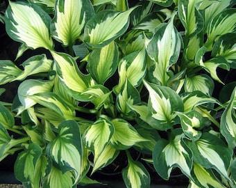 "Morning Star Hosta - Very Hardy - Creamy Yellow Foliage - 4"" Pot"
