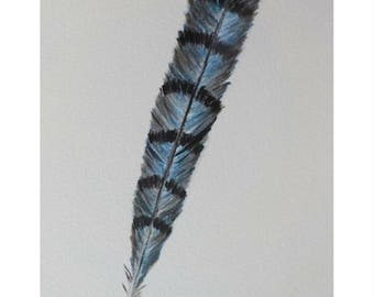 AUTHENTICITY ~ Blue Jay Feather Giclee