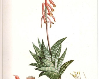 REDOUTE Vintage 1990 FLOWERS Color Art Print Frameable Botanical Original Book Plate 14 Aloe Variegata with Spotted Leaves and Red Flowers
