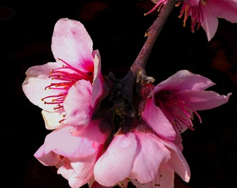 Spring Blossom #5 fine art print - contemporary art - photography -  wall art - flowers - spring blossoms - pink blossoms