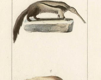 Anteater and Tamandua - Antique French natural history lithograph, 1832