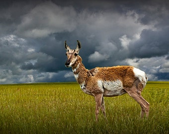 Lone Pronghorn Antelope on the Western Prairie No.1856 An Animal Wildlife Nature Photograph