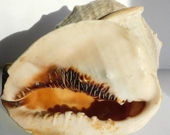 "Vintage Large Queen Sea Shell Conch Horn Helmet Nautical Beach 9""x 8"" x 8"""