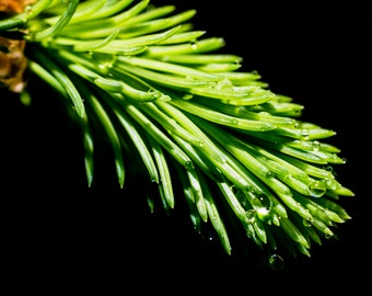 Green Pine Needle
